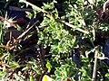 Lotus glareosus leaves SierraNevada.jpg