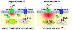 Excitotoxicity - Image: Low Ca 2+ buffering and excitotoxicity under physiological stress and pathophysiological conditions in motor neuron (M Ns)