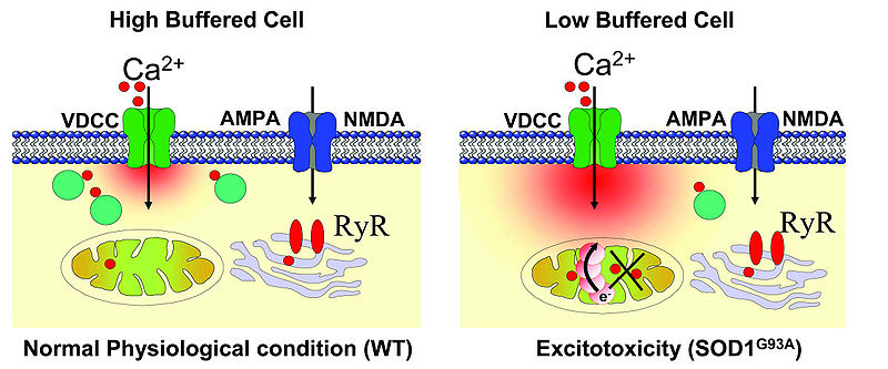 File:Low Ca2+ buffering and excitotoxicity under physiological stress and pathophysiological conditions in motor neuron (MNs).jpg