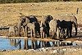 Loxodata africana groupe MHNT.jpg
