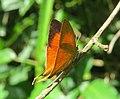 Loxura atymnus - Yamfly at Mayyil 08.jpg