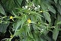 Ludwigia decurrens (Onagraceae) (29700556410).jpg