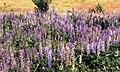 Lupins, J D Irving Nature Preserve, Saint John, NB.jpg