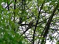 Luscinia megarhynchos en Fraxinus angustifolia.JPG