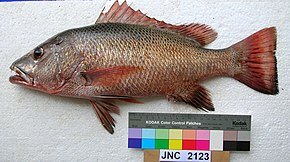 Description de l'image  Lutjanus argentimaculatus JNC2123 New Caledonia.JPG.