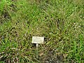 Luzula pilosa - Berlin Botanical Garden - IMG 8652.JPG