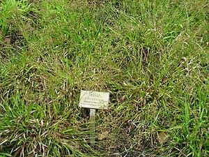 Luzula pilosa - Image: Luzula pilosa Berlin Botanical Garden IMG 8652