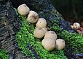 Lycoperdon pyriforme, Stump Puffball, UK, Enfield.jpg