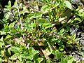 Lythrum tribracteatum sl1.jpg