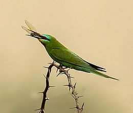 MG 1469 Blue face Bee eater INW 02.jpg