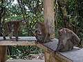 Macaque Monkeys from Monkey Hill, Phuket, Thailand (45007225595).jpg