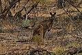 Macropus fuliginosus (32482147902).jpg