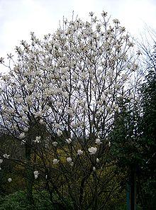 yulan magnolie wikipedia. Black Bedroom Furniture Sets. Home Design Ideas