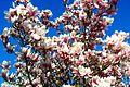 Magnolienbaum - panoramio.jpg