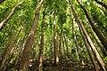 Mahogony man made forest at Bohol 2017 - sharp.jpg