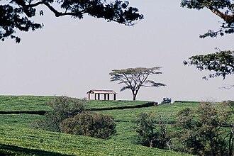 Economy of Malawi - A Malawi tea estate