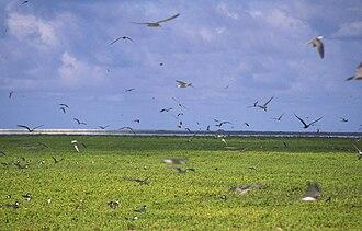 Malden Island - Image: Malden AKK Terns