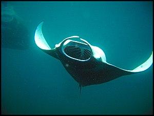 Planktivore - A manta ray consuming plankton
