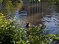 Mallard in Central Park 1.jpg