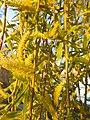 Malpighiales - Salix babylonica - 9.jpg