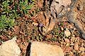 Malta - Ghajnsielem - Comino - Asteriscus aquaticus+Lysimachia arvensis 01 ies.jpg