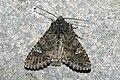 Mamestra.brassicae.7460.jpg