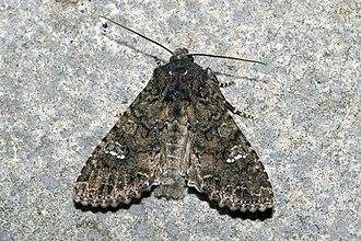 Cabbage moth - Image: Mamestra.brassicae.7 460