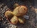 Mammillaria armillata (2).jpg