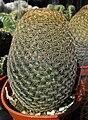 Mammillariamatudae.jpg
