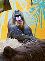 Mandril (Mandrillus sphinx), Tierpark Hellabrunn, Múnich, Alemania, 2012-06-17, DD01.JPG