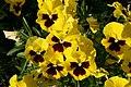 Mani ziedi My flowers - panoramio.jpg