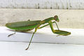 Mantis in Connecticut.jpg