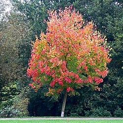 Maple tree, Coate Water country park, Swindon - geograph.org.uk - 572323.jpg