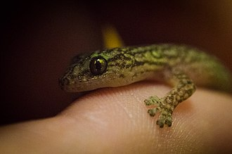 Christinus marmoratus - A head close-up of a Marbled Gecko (Christinus marmoratus). Note the pads on its feet.