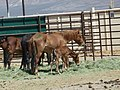 Mares and foals delivered to PVC 6-13 (7370037034) (3).jpg