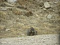 Marmot P6040223.jpg