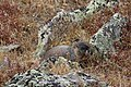 Marmota flaviventris (29783830782).jpg