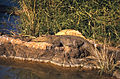 Marsh Crocodile (Crocodylus palustris) (20649241222).jpg