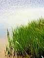 Marsh grass.jpg
