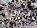 Martesia striata bivalves in wood borings (driftwood on marine beach, Cayo Costa Island, Florida, USA) 11 (26107273671).jpg