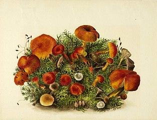 (Untitled--Study of Mushrooms)