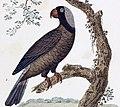 Mascarinus mascarinus, L'Histoire Naturelle Des Oiseaux.jpg