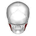 Masseter muscle - posterior view - deep part.png