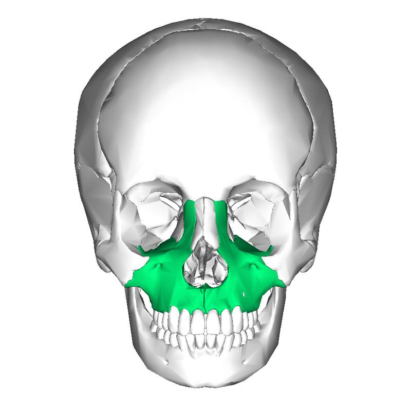 Maxillary Bone Maxilla - HowlingPixel