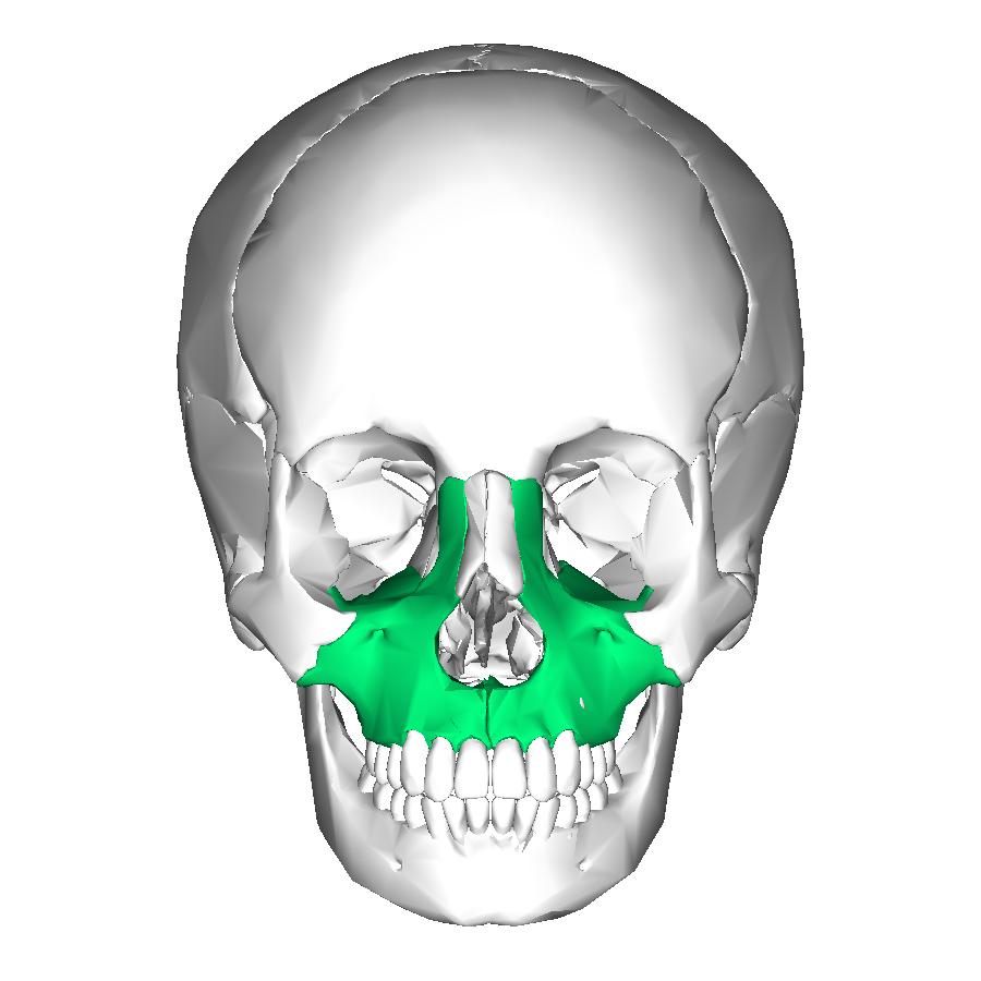 Maxilla anterior