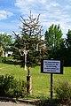 Maypole cut, Weißenkirchen an der Perschling.jpg