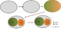 Mecanismo de polarización celular de C .elegans..png