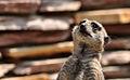 Meerkat in Artis Zoo.jpg