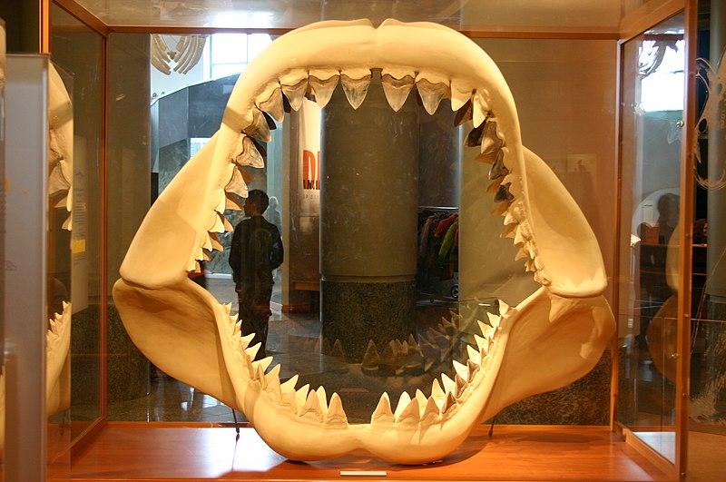 File:Megalodon jaw.jpg - Simple English Wikipedia, the ...