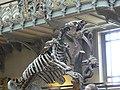 Megatherium americanum side2.JPG